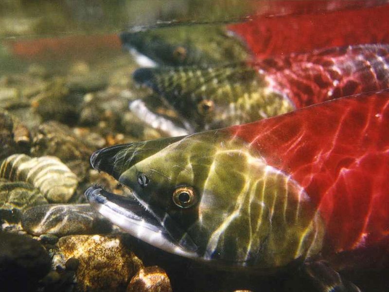 salmon Pacific Northwest