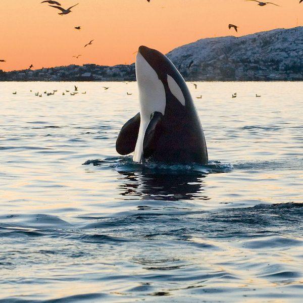 baby orca death